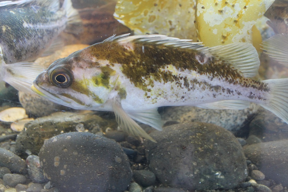 Pacific northwest rock fish are beautiful. They come in all sizes, shapes and colors, from the striped tiger to the incredibly bright canary fish.