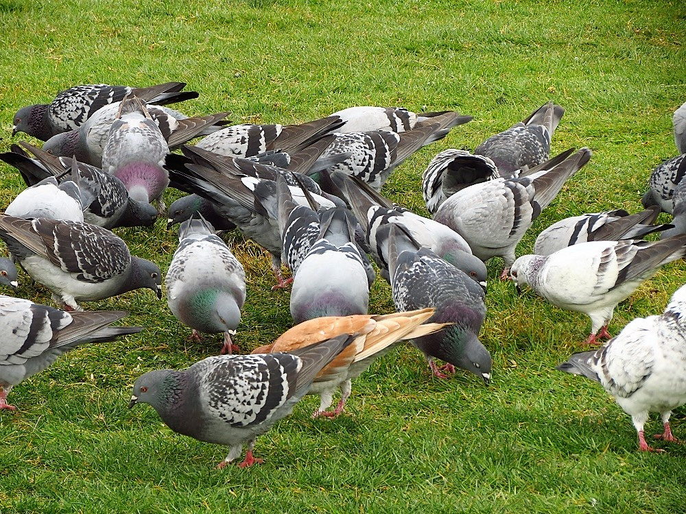 Rock pigeons can seem very vocal in large flocks.The typical call is a coo coo, almost like an owl sound. Because pigeons are so used to humans, they often will readily approach a passersby for food.