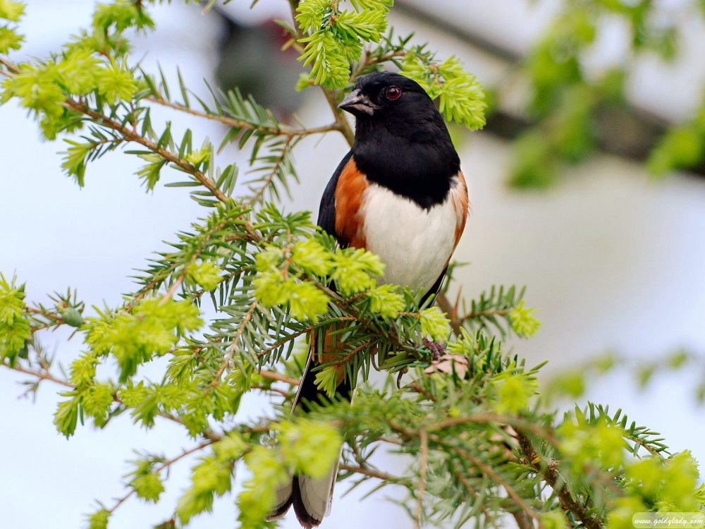 The rufous sided towhee is up to 20 cm long. It has a small pointed black bill, reddish brown eyes, and long black colored tail feathers with white corners that are visible in flight.