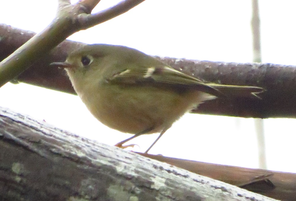 The ruby crowned kinglet is native to North America. Both the male and female have olive grey plumage with a thin black bill and short tail. The male bears a red crown which gives the bird its common name.