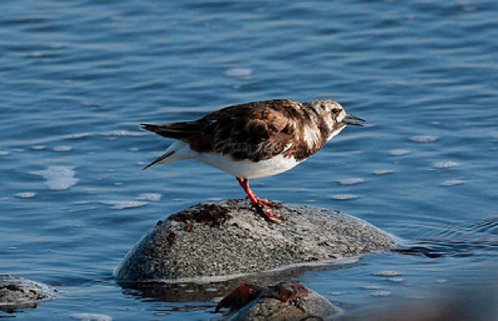 The Ruddy Turnstone is not common on on the BC coast but does visit here, and its always a thrill to see them on the beach