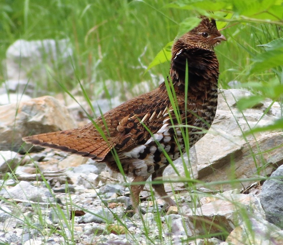 Ruffed Grouse are very common in the lowlands along the Pacific Northwest Coast