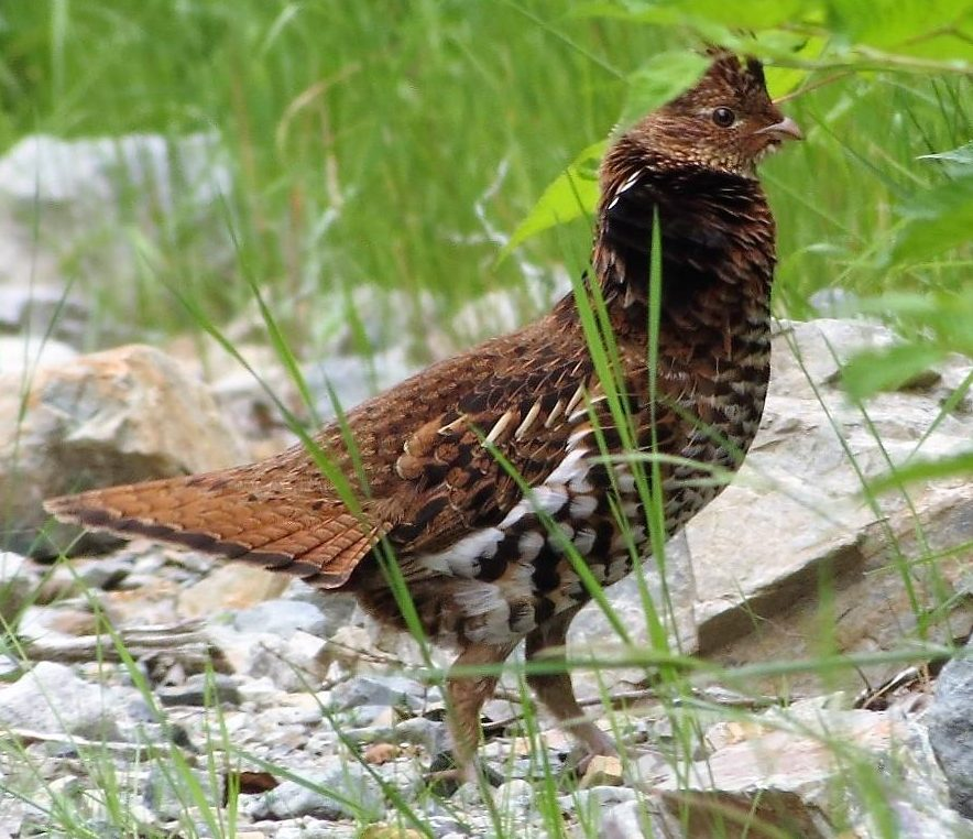 The ruffed grouse is common throughout most of Canada. It does not migrate and, once established, lives all its life within a few hectares.
