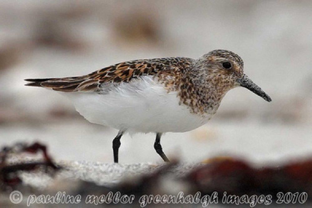 The sanderling is a small, light colored sandpiper with a black bill and black legs, speckled with gold coloring on the back. The male and female look alike.