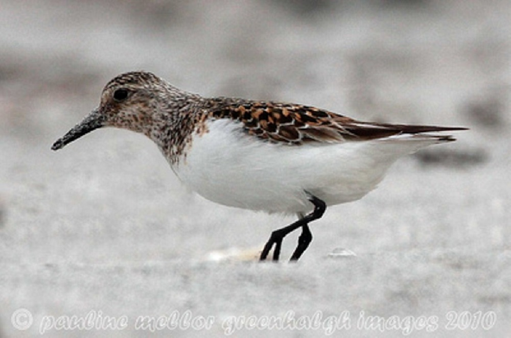 Sanderlings nest on dry, rocky tundra in the high Arctic usually close to water. The nest is ground based, in a shallow scrape up on a high spot and lined with vegetation. The female generally lays a clutch of 4 eggs.