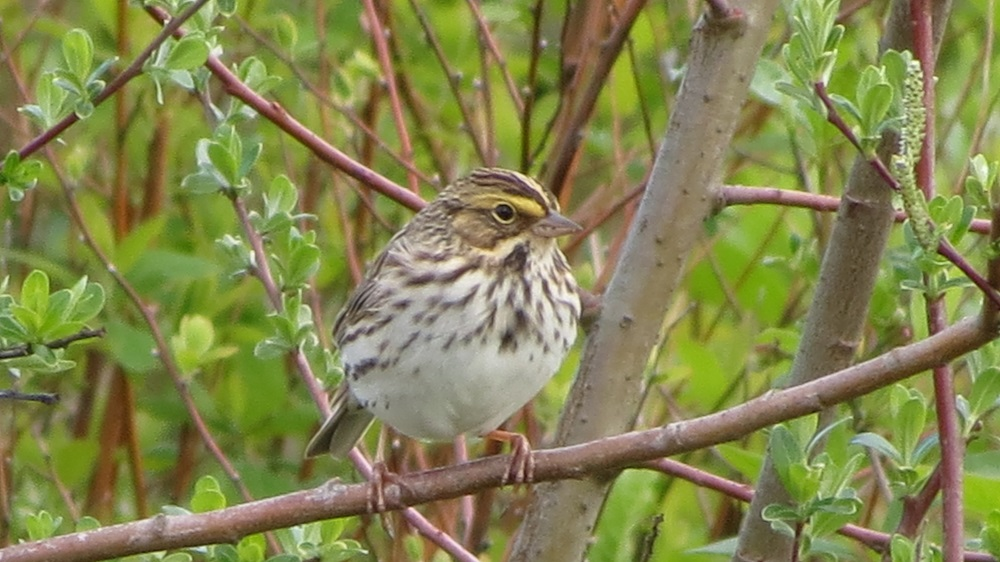 The Savannah sparrow is a very pretty little bird with a short notched tail. The head seems small for its fat body, and the crown feathers often flare up to give the bird a small crown.