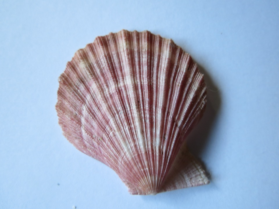 Pink Scallop, Vancouver Island, BC