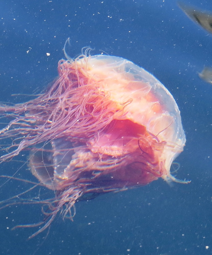 The sea blubber jellyfish (also known as the lion mane jellyfish) can have a bell that reaches up to a meter or more in size and its tentacles can be up to 9 meters long.