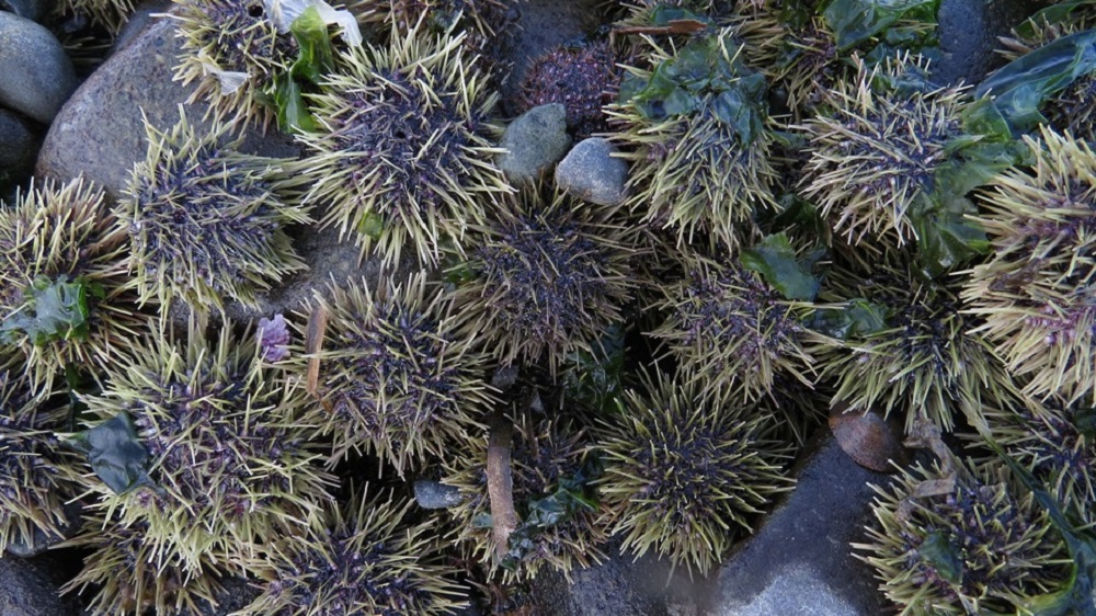 Sea Urchins, Vancouver Island, BC