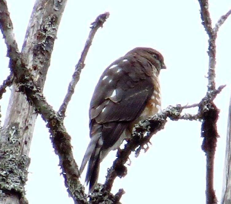 Sharp shinned hawk populations declined in the 1970's due to eggshell thinning caused by pesticide contamination in their prey.