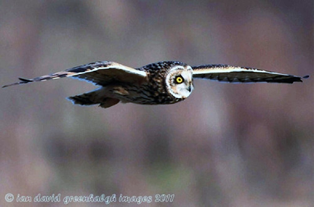 The Short Eared Owl grows up to 42 cm in length. It has fairly long wings but a short tail. Adults have a brown back and creamy buff chest with brown streaks.