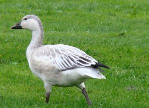 The population of some geese is increasing at a very fast rate and causing problems on the nesting grounds. Snow geese are an example of this. An estimated 6 million birds now nest in Hudson Bay, they have become the most populated bird in the north.
