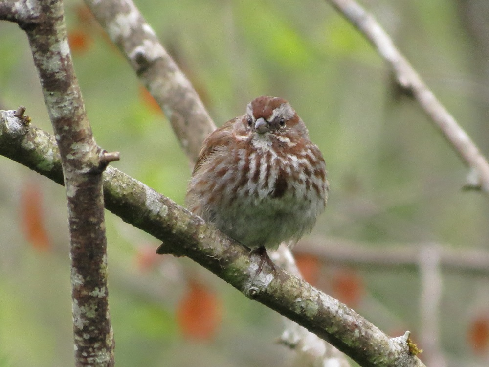 Not all song sparrows are migratory, in those that are, the male song sparrow arrives ahead of the females on the breeding ground to start looking for a good spot to build a nest.