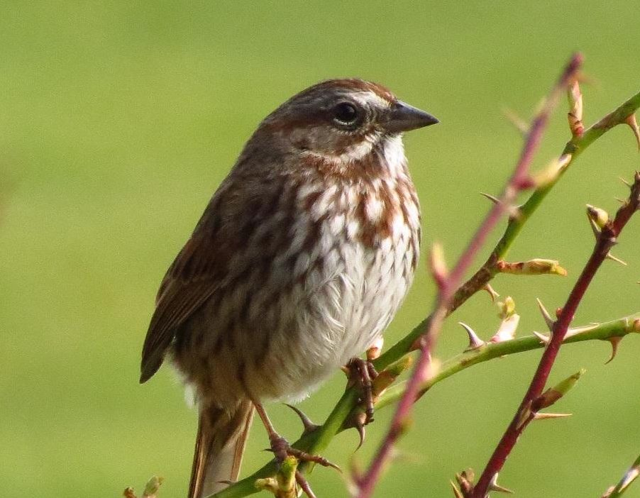 The Song sparrow likes to feed on the ground foraging for seeds, insects, and some fruit. To attract these birds to feeders, you may scatter some seeds on the ground.