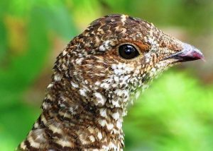 The sooty grouse is one of the large land birds that can be found in bush areas in coastal rain forests, burned areas, mountain forests, and sub alpine forest clearings.