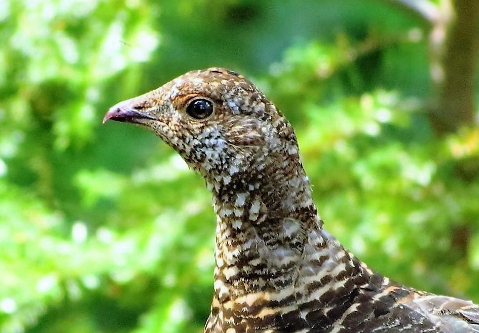 The Sooty Grouse is up to 55 cm in length. The male is gray to bluish gray with a red to yellow-orange comb over its eyes. It has a yellow neck sac surrounded by white. The female is spotted brown with a dark tail.