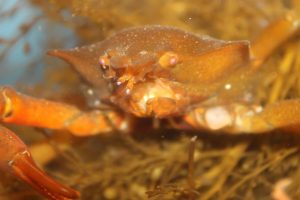 The Northern Kelp Spider Crabs eat algae and kelp, but when these are scarce they may eat barnacles, mussels, and plankton.