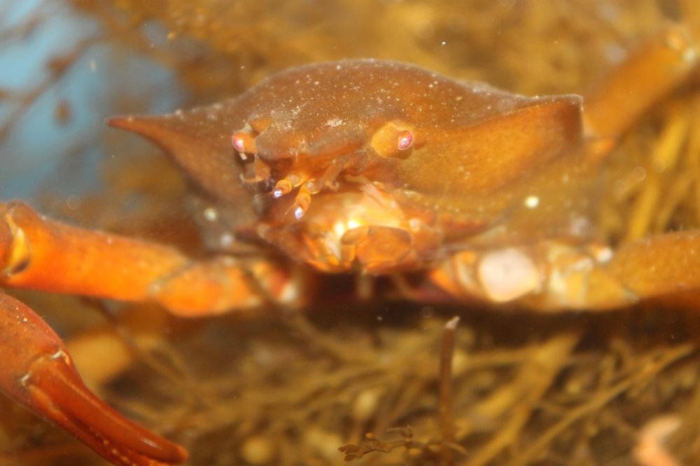 Northern Kelp Spider Cra, Vancouver Island, BC