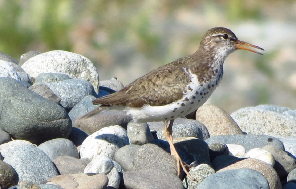 The Spotted Sandpiper is around 17 cm long. During breeding it has dark bars on brown above and heavy round, black spots below, the bill is pink at the base and its legs are pinky orange. It turns pale gray brown with white under parts in the fall and winter.