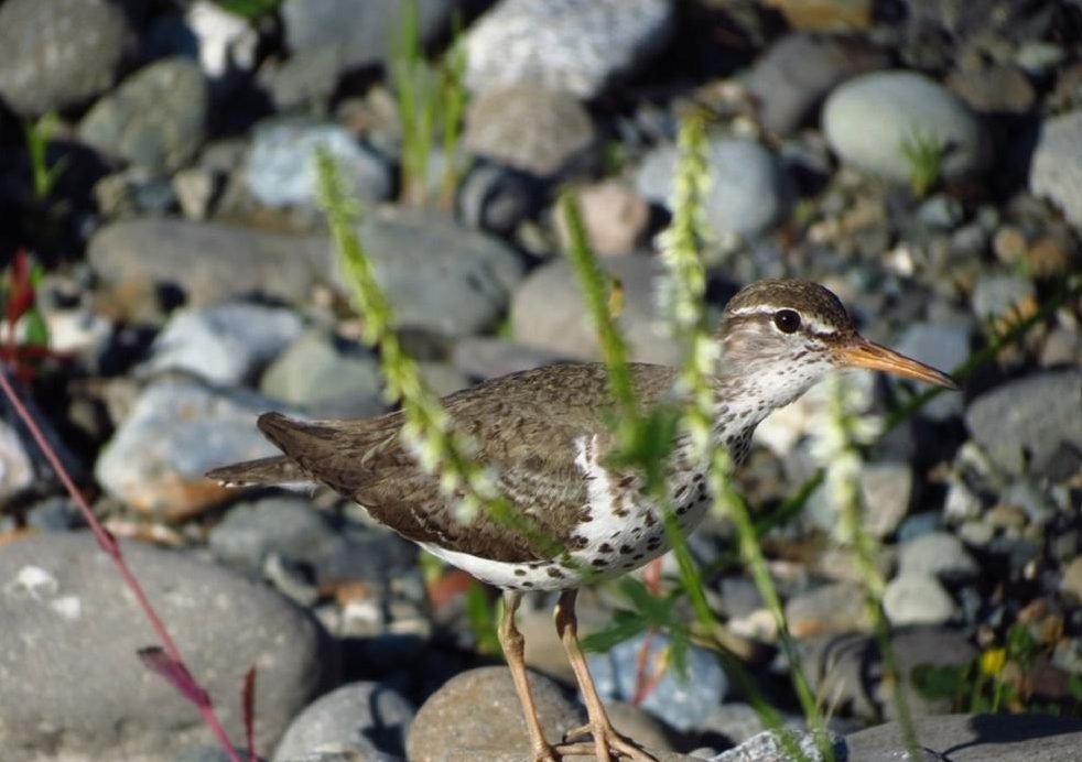 Shorebirds frequent estuaries, small offshore islands and coastal dunes. They must have food, protection from predators and roosting areas which are conveniently close to their feeding sites to be able to breed, generally at or above the high tide mark.