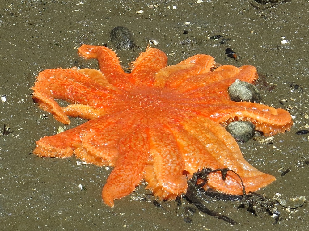 The sunflower starfish can be found from Alaska to Southern California and can be found in great abundance on all areas of the pacific northwest coast. They can reach lengths of 46 cm, making them one of the biggest starfish in our area.