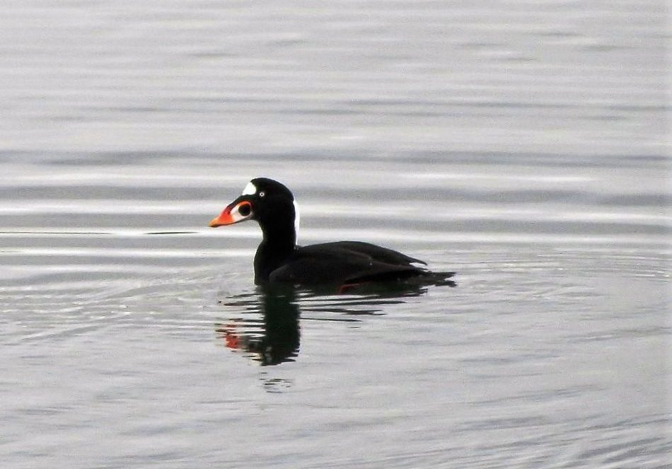Surf scoters ducks breed on shallow freshwater lakes found in the boreal forests of northern Canada and Alaska. Female surf scoters prefer to nest in brushy tundra or wooded areas near a pond, bog or stream and lay up to 8 eggs.