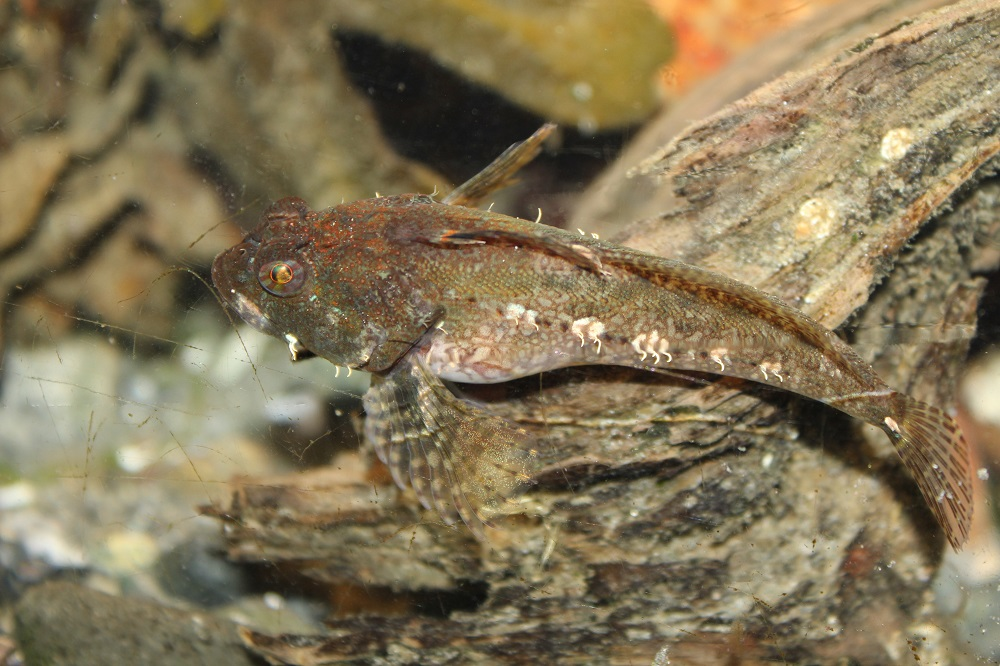 Tide Pool Sculpin are commonly found in tide pools. The well camouflaged tidepool sculpins hide in crevices throughout the tide pools of the BC coastal region, and can easily be observed by wading into tide pools from shore.