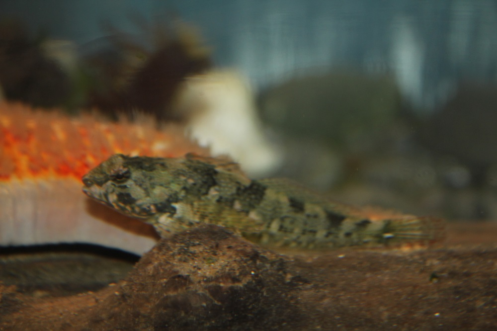 Tide Pool Sculpins mature in one year and may live as long as five.