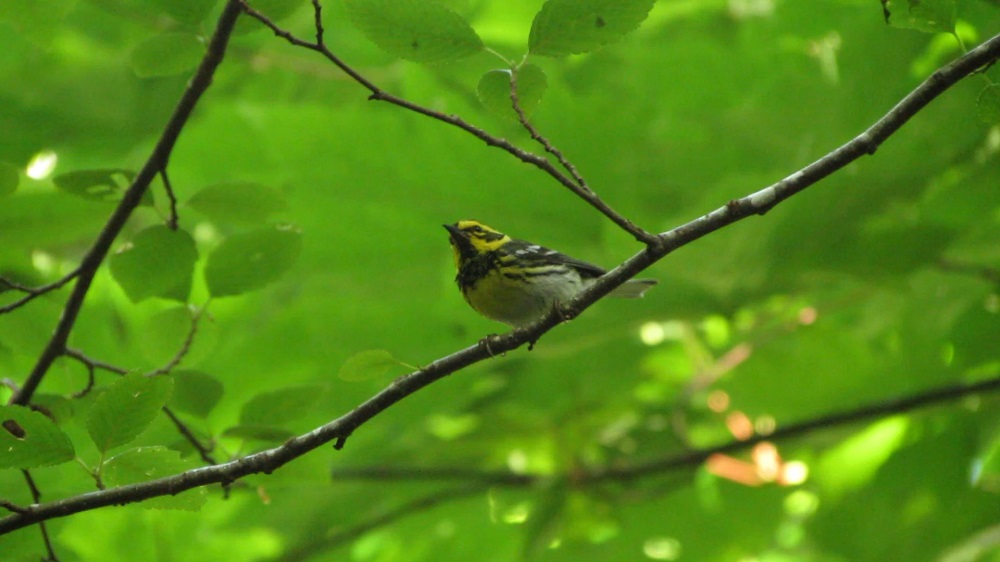 The colors of the townsends warbler help them remain unseen in the coastal forests of Vancouver Island.