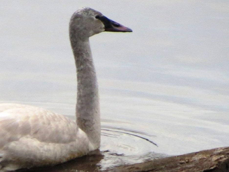 The cygnets Trumpeter Swan will hatch in June and after a day or two, they take to the water to feed on insects and other aquatic invertebrates. By the time the cygnets are four to six weeks old they are feeding on aquatic vegetation, using their bills to uproot plants as their parents do.