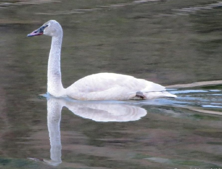 Trumpeter Swan, Vancouver Island, BC