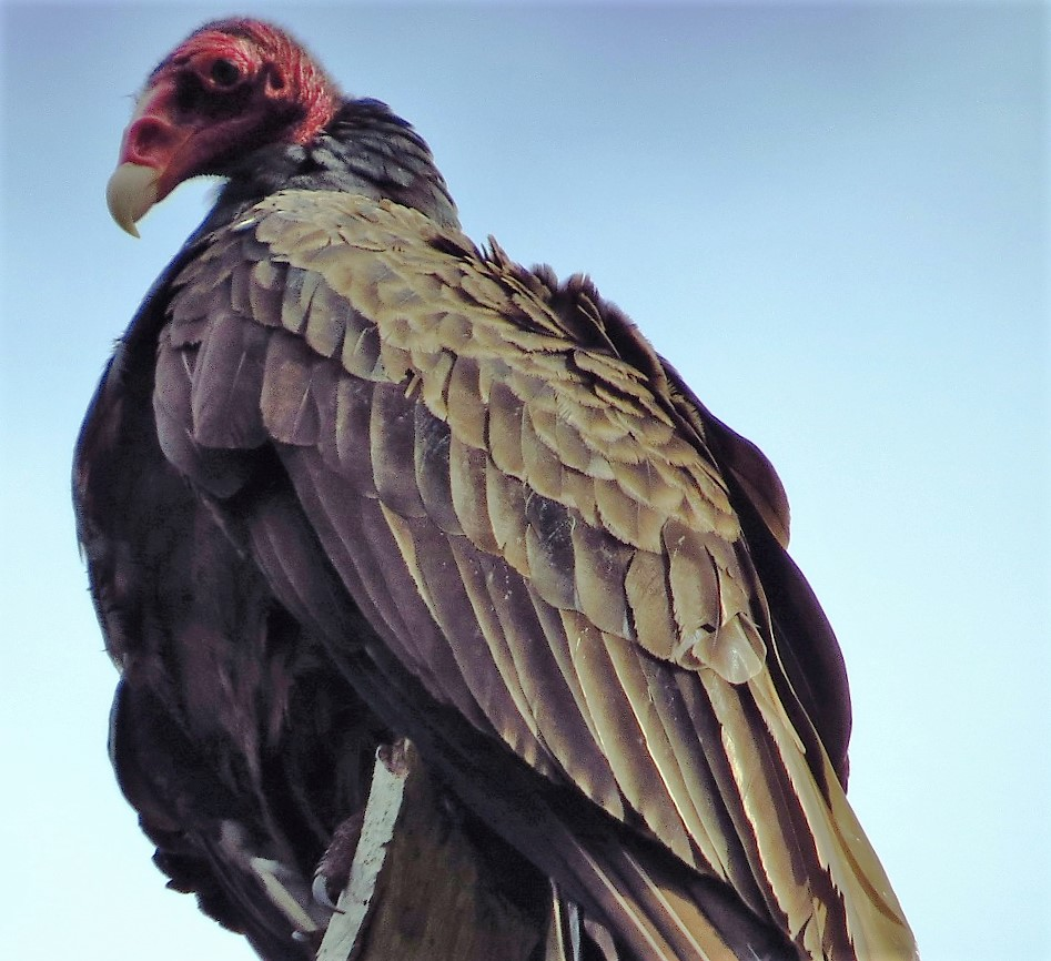 The Turkey Vulture is quite common in the Pacific Northwest, they are one natures cleaners.