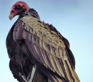 Another peculiar fact about turkey vulture is that it urinates on its legs. As the vulture does not perspire like human, the act of urinating on the legs helps it to cool itself in summer. At the same time, the strong acids of its urine kill bacteria on the legs.