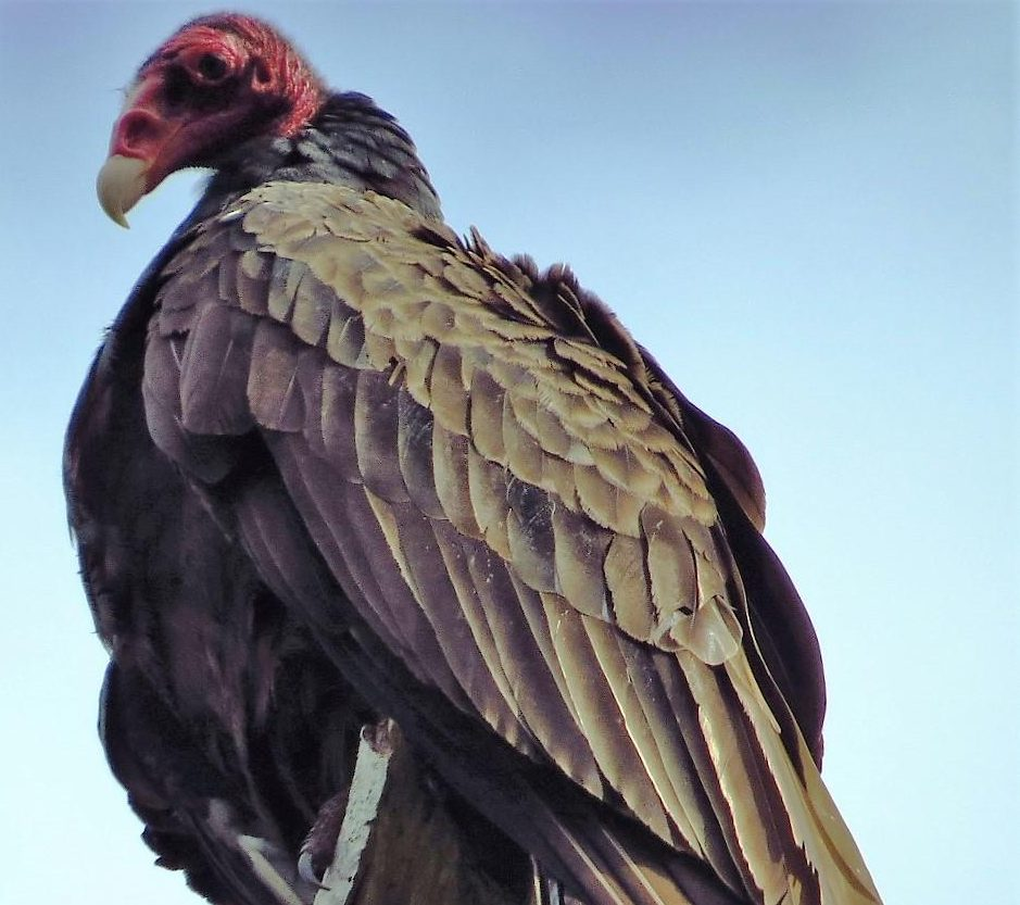 Turkey Vulture, Vancouver Island, BC