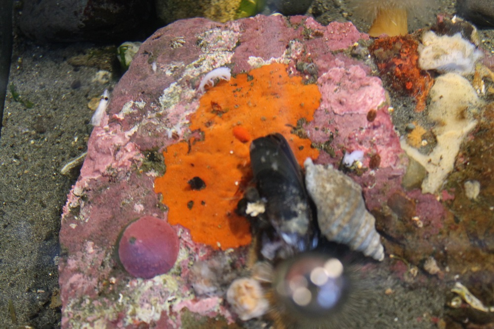 Sponges are fixed or sedentary animals that are quite common inhabitants of most of the worlds marine environments. They are very common in the waters along the BC coast. They can be seen from the inter tidal zone right down to over 700 meters deep. There are even a few species that live in freshwater environments.