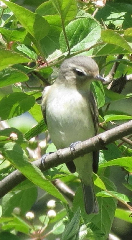 The warbling vireo breeds in deciduous woodlands, primarily riparian areas. The western birds have a prolonged spring migration from early March to late May.