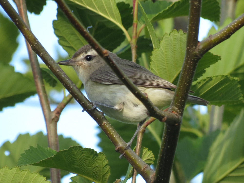 The warbling vireo is among the dullest of vireos, lacking wing bars and eye rings, they are gray with brownish to greenish tones to the upper parts.
