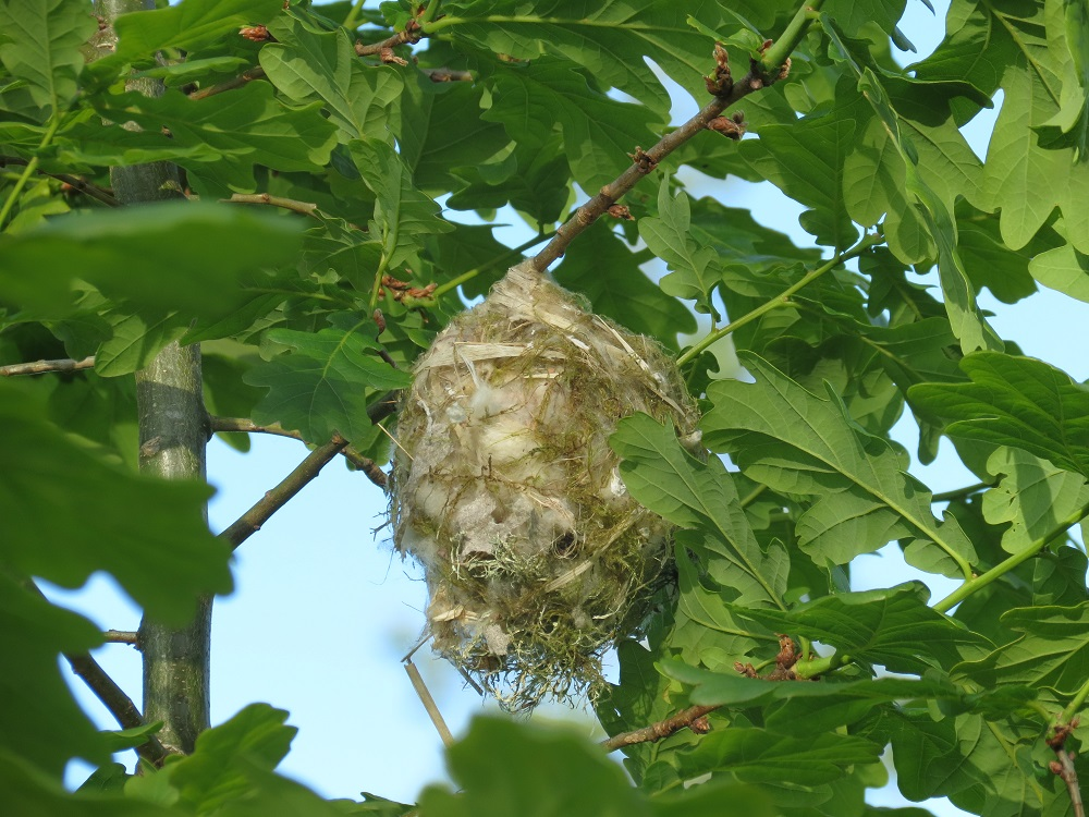 The female warbling vireo selects the nest site and may place nesting material in several locations before beginning to build at the final location.
