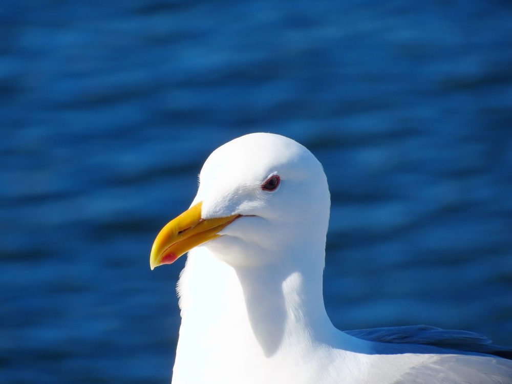 Take a walk along any beach, look toward the sea and you will be amazed at the variety of seabirds. I have always enjoyed watching the almost comedic antics of our gulls.
