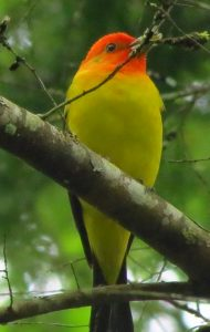 The western tanager shows up on the South Vancouver Island in May and can be seen in forest settings around the island as far up as the Campbell River area.