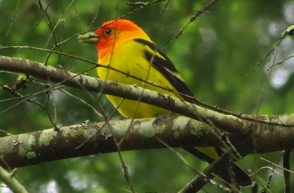 Western Tanagers can befound in open coniferous or mixed coniferous and deciduousforests. They are common in forest openings, and they seem most at home in the dry douglas fir forests of the BC coast, but they are much more widely distributed than that.
