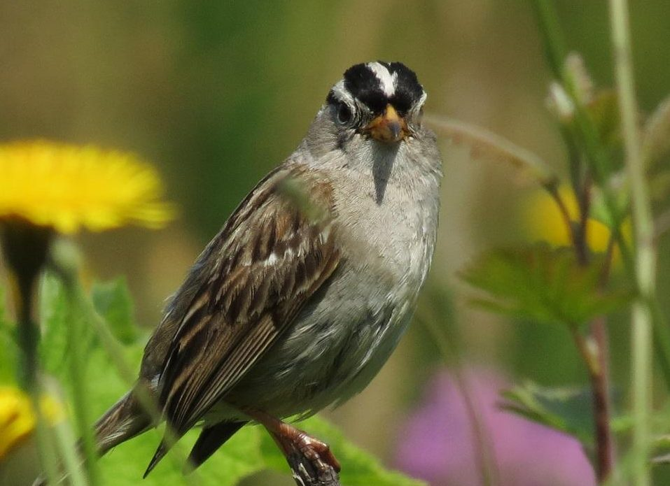 The White crowned Sparrow is generally found in small flocks of their own mixed in with other species, during the non-breeding season.