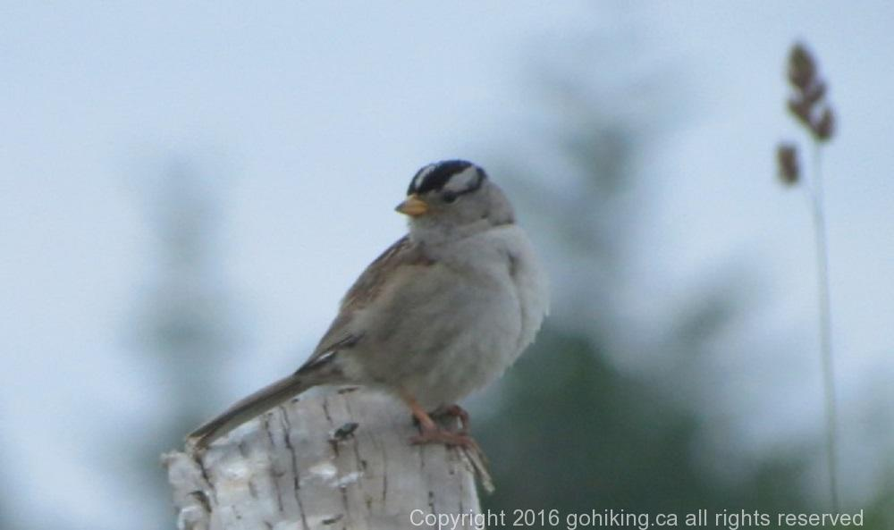 White Crowned Sparrow, BC