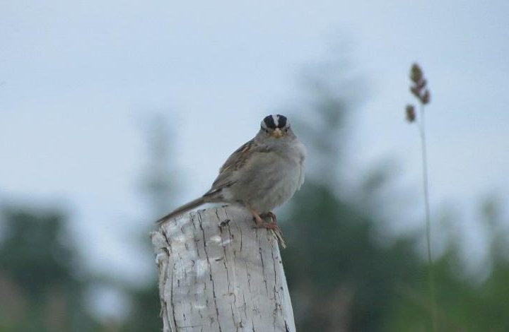 The White crowned sparrow is a very pretty bird with bold black and white stripes on its head. It has a clear, gray breast and belly, long tail, and wings marked with two white wing bars.