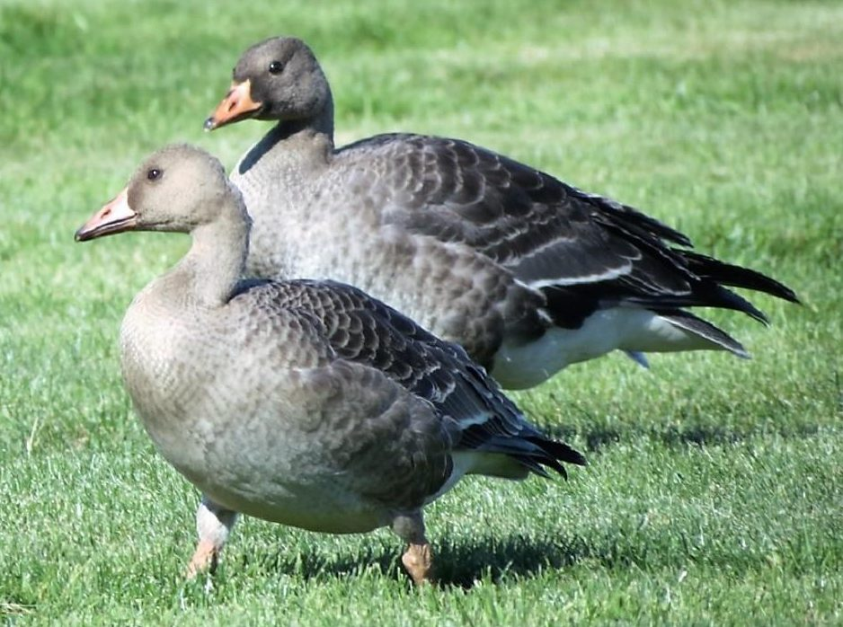 The White Fronted Geese are named for the bright white patch found at the base of bill.