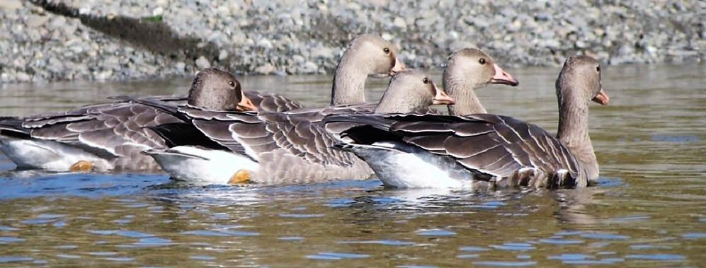 White Fronted Geese, Pacific Coastal Shores
