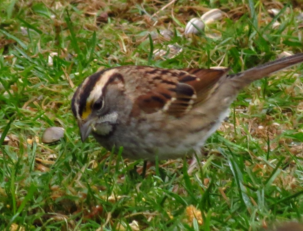 Although not a very common visitor to BC Coastal Region, I had white throated sparrow at one of my feeders for over 2 weeks this fall.