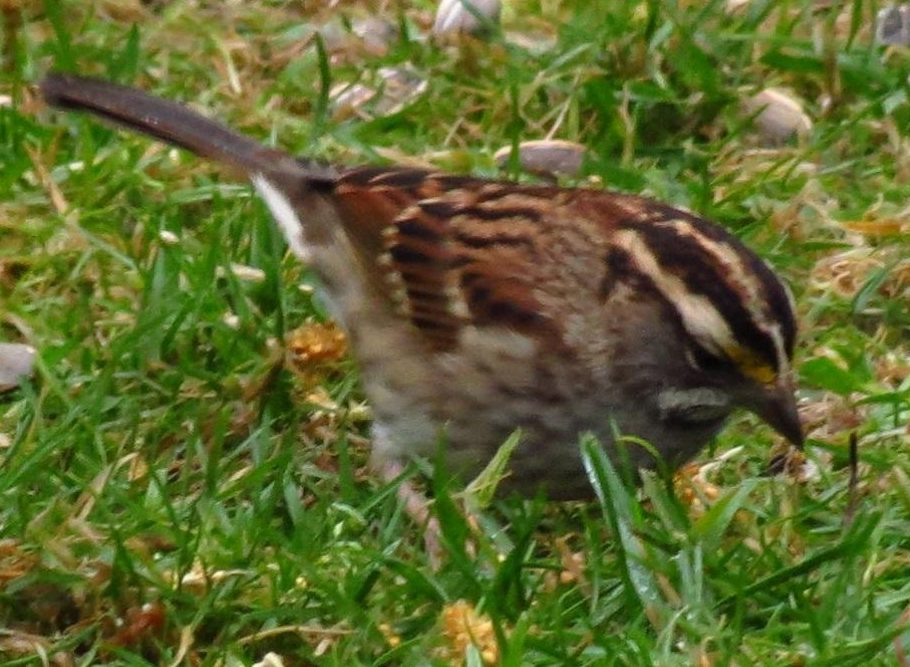 White Throated Sparrow, Open Field Birds, Vancouver Island, BC Coastal Region, Pacific Northwest
