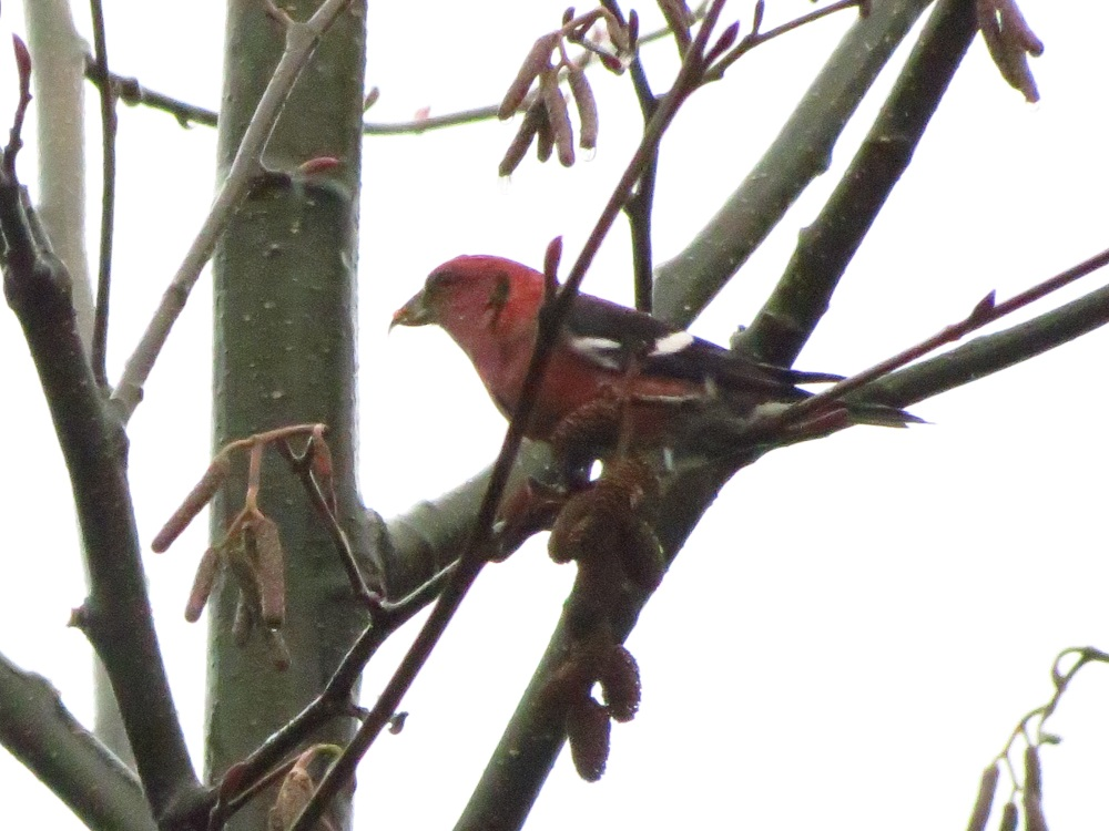 Although the white winged crossbill has three breeding periods coinciding with the cyclical abundance of favorite food sources. In early July, January and March. Their nests are usually bulky and hidden in thick spruce boughs.