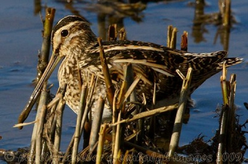 The Wilsons Snipe is a medium-sized wader, about 28 cm. It is easily identified by its mottled brown back, long, straight bill and orange tail markings. Other field marks include a whitish belly, black head stripes, and dull green legs.